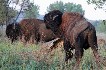 bison09