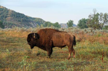 bison17