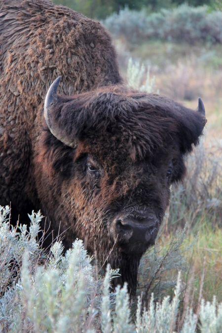 bison21