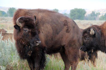 bison23