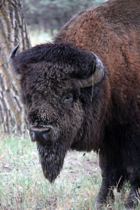 bison25